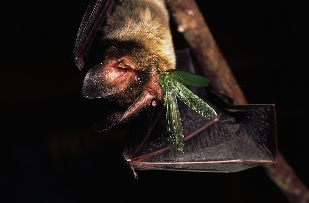 Gray's Spear-nosed Bat<br />Mimon crenulatum<br />Amazon Rain Forest.   ECUADOR South America<br />Range: Mexico to Bolivia