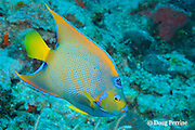 queen angelfish, Holacanthus ciliaris, Gallows Reef, Belize Barrier Reef, Meso-American Barrier Reef System, Belize, Central America ( Caribbean Sea )