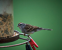 Chipping Sparrow at a bird feeder. Image taken with a Nikon D5 camera and 600 mm f/4 VR lens (ISO 1600, 600 mm, f/4, 1/200 sec)