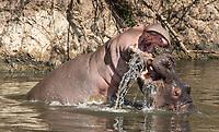 Two male Hippopotamuses, Hippopotamus amphibius, sparring in a pond in Serengeti National Park, Tanzania