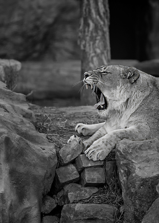 A Lioness Gives A Roar