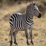 Burchell's Zebra, (Equus burchelli) Portrait of adult. Masai Mara Game Reserve. Kenya. Africa.