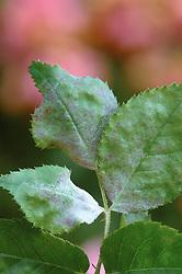 Mildew on rose leaf