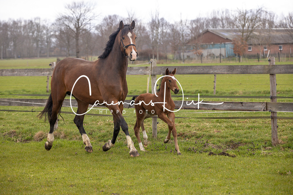 Ludena, veulen van Mr Diamond, Van der Aa Willy<br /> Stal Willy Van der Aa - Vinkel 2021<br /> © Hippo Foto - Dirk Caremans<br /> 17/03/2021