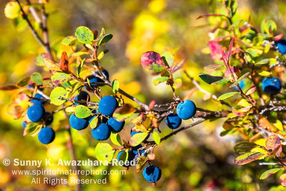 Close up of Lowbush Blueberry, Denali National Park & Preserve, Interior Alaska, Autumn.