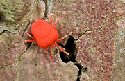 Close up of a bright red velvet mite (Eutrombidium rostratus) resting on the bark of a pine tree in a Norfolk wood.