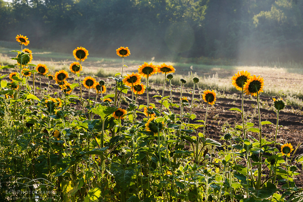 Sunflowers growing at Barker's Farm in Stratham, New Hampshire.