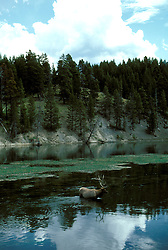 WY: Wyoming; Yellowstone National Park, Elk standing in water                   .Photo Copyright Lee Foster, lee@fostertravel.com, www.fostertravel.com, (510) 549-2202.Image: wyyell214