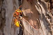 Hornet worker (Vespa crabro) climbing pine tree. Surrey, UK.