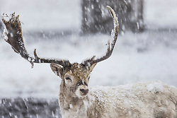 © Licensed to London News Pictures. 24/01/2021. London, UK. A young stag deer stands in a snowy Bushy Park in south west London. A band of snow is crossing the south east this morning as temperature remain just above freezing. Photo credit: Peter Macdiarmid/LNP