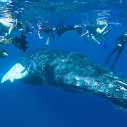 Humpback Whale (Megaptera novaeangliae) underwater with people snorkeling in the Caribbean Ocean.