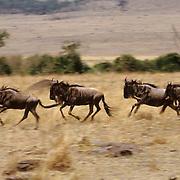 Blue Wildebeest, (Connochaetes taurinus) Running. Serengeti Plains.Masai Mara Game Reserve. Kenya. Africa.