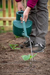 Watering in newly planted out Courgette F1 'Midnight' - Zucchini.