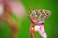 Glanville Fritillary (Melitaea cinxia), Pollino National Park, Italy; WWoE Mission