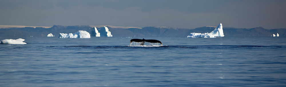 Cetacea; diskobay; Greenland; whales