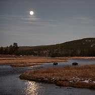 Two bison cross the Madison River beneath a full moon in Yellowstone