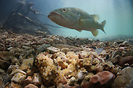 Neosho Smallmouth Bass (male guarding nest with eggs)<br /> <br /> Isaac Szabo/Engbretson Underwater Photography