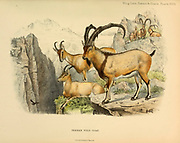 Persian Wild Goat (Capra hircus aegagrus) colour illustration From the book ' Wild oxen, sheep & goats of all lands, living and extinct ' by Richard Lydekker (1849-1915) Published in 1898 by Rowland Ward, London