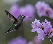 A hummingbird zeros in on an early blooming Azalea at the Washington Park Arboretum. (Steve Ringman / The Seattle Times)