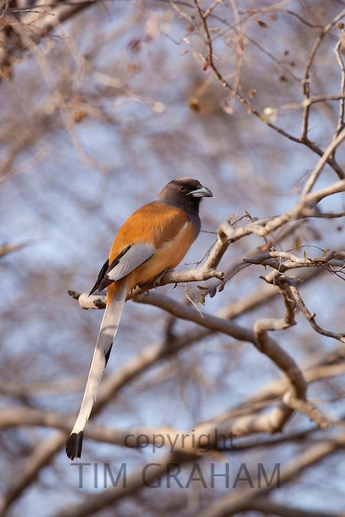 Indian Rufous Treepie, Dendrocitta vagabunda, bird in Ranthambhore National Park, Rajasthan, Northern India