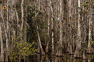 Snowy egreat in bald cypress trees in Everglades National Park, Florida, USA