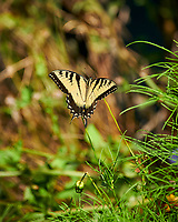 Eastern Tiger Swallowtail Butterfly. Image taken with a Nikon D850 camera and 70-300 mm VR lens