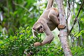 Muriqui Monkey