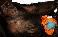 Deutschland, DEU, Krefeld, 2004: Projekt ueber die biologischen Wurzeln der Mode. Die Shootings hierfuer wurden mit Grossen Menschenaffen, die dem Menschen am naechsten sind, im Krefelder Zoo gemacht. Die Tiere waren weder zahm noch trainiert. Die Kleidungsstuecke wurden in die Gehege geworfen und was immer die Tiere damit anstellten, taten sie aus sich selbst heraus. Ein Eingreifen oder gar eine Regie war unmoeglich. Da das Verhalten der Affen im Mittelpunkt stand, wurden die Hintergruende von den Originalfotografien entfernt. Schimpansen-Maennchen Charly mit einem Shirt von Marina Rinaldi und einem Rock von Y 3. | Germany, DEU, Krefeld, 2004: Project to look at the basics and roots of fashion. The shootings took place in the Zoo Krefeld with three species of Great Apes who are the nearest to us. The animals were neither tamed nor trained. Whatever the animals did, they did on their own. Any intervention or directing was impossible. To set the focus on the behaviour of the animals itself we removed the background from the original photographs. Chimpanzee (Pan troglodytes) male Charly with shirt from Marina Rinaldi and skirt from Y 3. |
