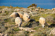 Sheep on Pag  island,  Croatia .<br /> <br /> Visit our CROATIA HISTORIC SITES PHOTO COLLECTIONS for more photos to download or buy as wall art prints https://funkystock.photoshelter.com/gallery-collection/Pictures-Images-of-Croatia-Photos-of-Croatian-Historic-Landmark-Sites/C0000cY_V8uDo_ls