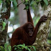 Orangutan, (Pongo pygmaeus) Sitting in trees of rain forest of Northern Borneo. Malaysia.  Controlled Conditons.