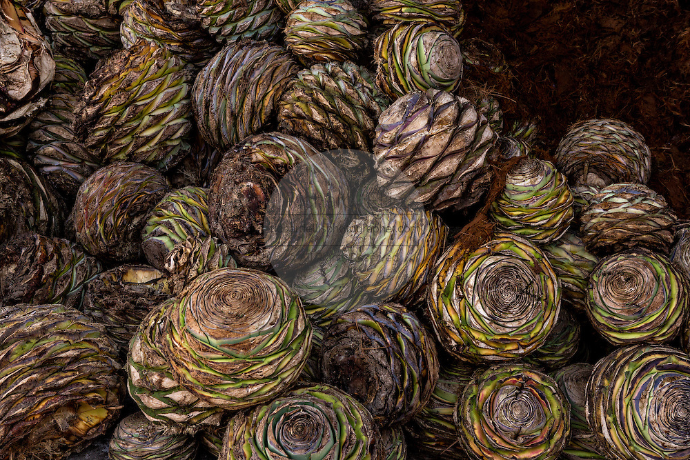 A pile of fresh blue agave hearts waits to be roasted in a fire pit at an artisanal Mezcal distillery November 5, 2014 in Matatlan, Mexico. Making Mezcal involves roasting the blue agave, crushing it and the fermenting the liquid.