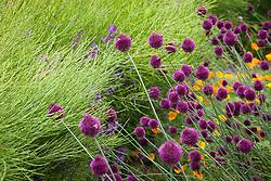 Allium sphaerocephalon growing with Eschscholzia californica 'Orange King' - California poppy and hesperis seed pods