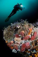 Underwater scenery - Saltstraumen.Atlantic marine life, Saltstraumen, Bodö, Norway.Model release by photographer
