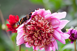 Butterfly on Dahlia 'Mambo'