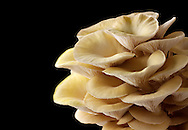 Fresh picked edible yellow or golden oyster mushrooms (Pleurotus citrinopileatus)against a black background