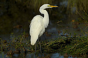 Great egret, Egretta alba, Limpopo, South Africa, the largest egret of the region, legs and feet always black, common bird