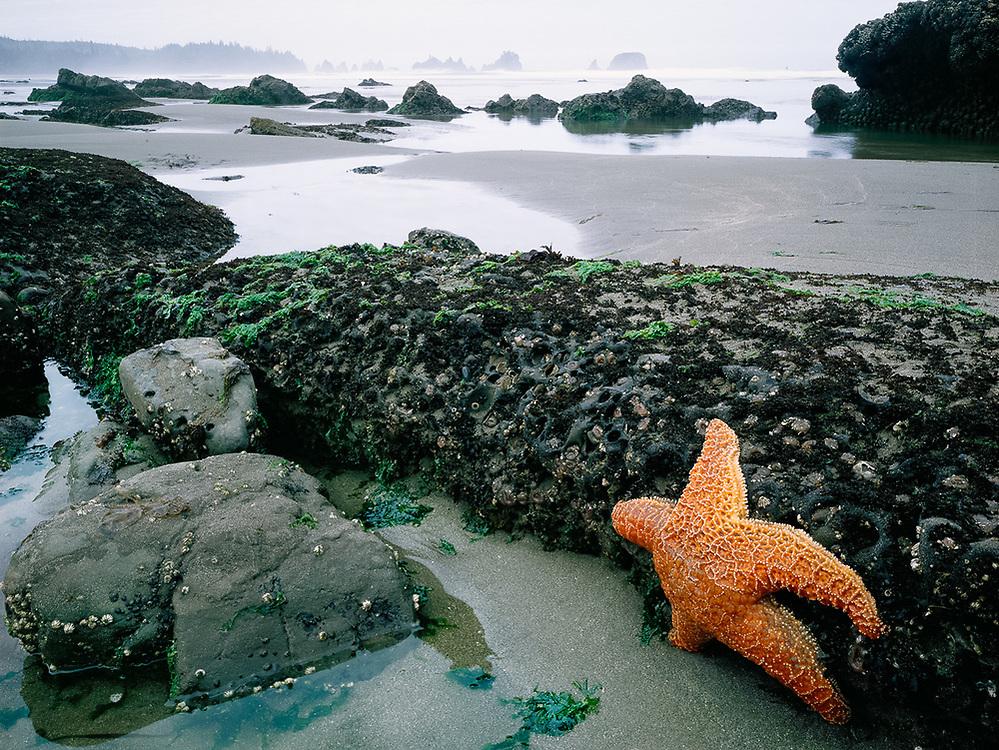 Shi Shi Beach, seastar, summer, Olympic National Park, Washington, USA