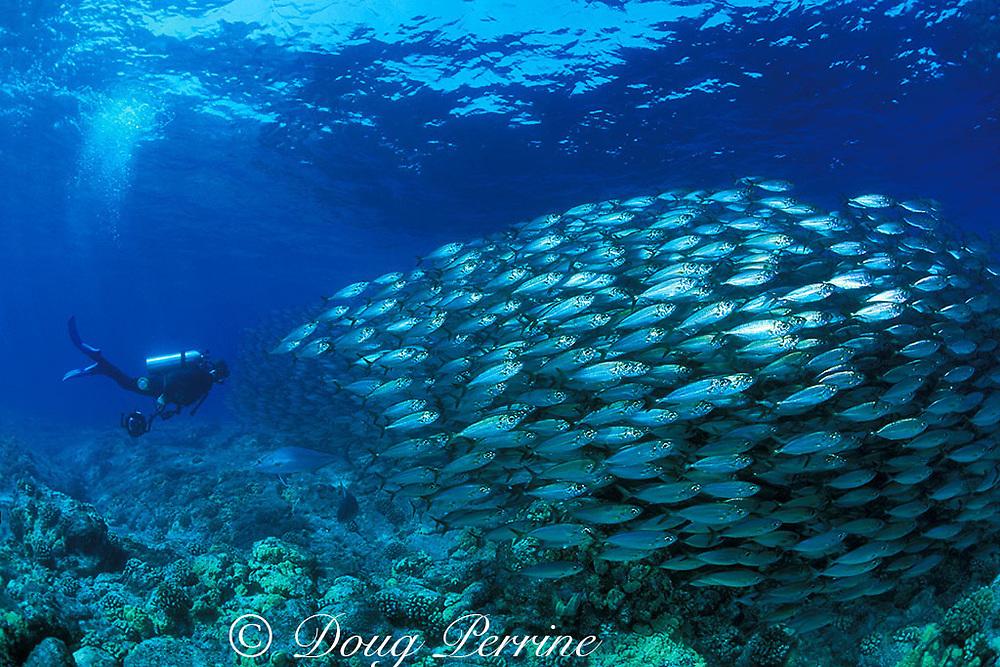 diver with school of bigeye scad,  <br /> Selar crumenophthalmus or akule<br /> Kona, Hawaii, USA ( Pacific ) MR 279