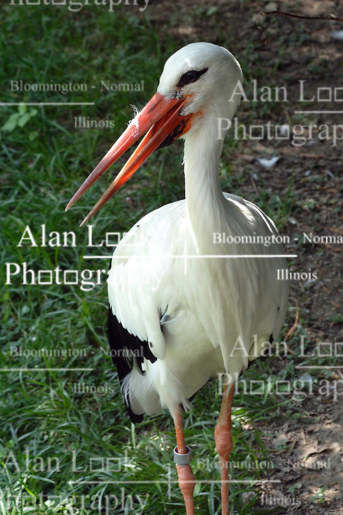 24 July 2005:   The white stork is a large bird in the stork family Ciconiidae. Its plumage is mainly white, with black on its wings.