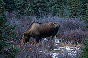 A female Alaskan moose during the autumn rut in Denali National Park, McKinley Park, Alaska.