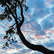 Tree silhouette at sunset, Hamilton, MA