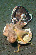 2 Coconut Octopus (Amphioctopus marginatus), wrestling over clam shells. This species gathers coconut and mollusc shells for shelter, Lembeh Strait, Sulawesi, Indonesia