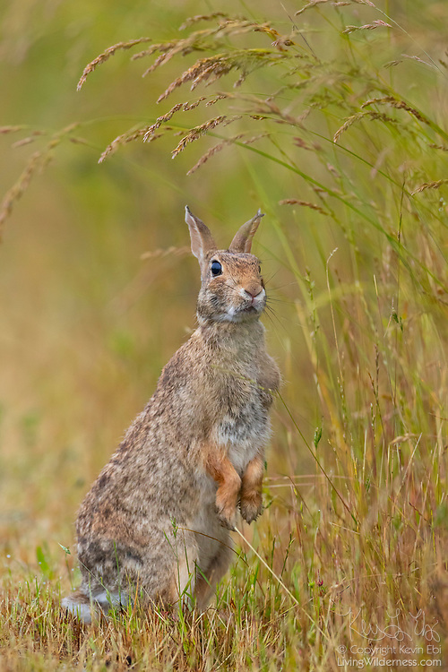 An eastern cottontail (Sylvilagus floridanus) rabbit stands on its hind legs as it looks at the grass in the Skagit Wildlife Area on Fir Island in Washington state. The eastern cottontail is the most common rabbit species in North America.