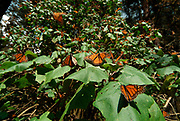 Monarch Butterfly, Danaus plexippus, El Chincua Nature Reserve, thousands resting in trees, migration, roosting site, lifecycle metamorphosis orange pattern wing