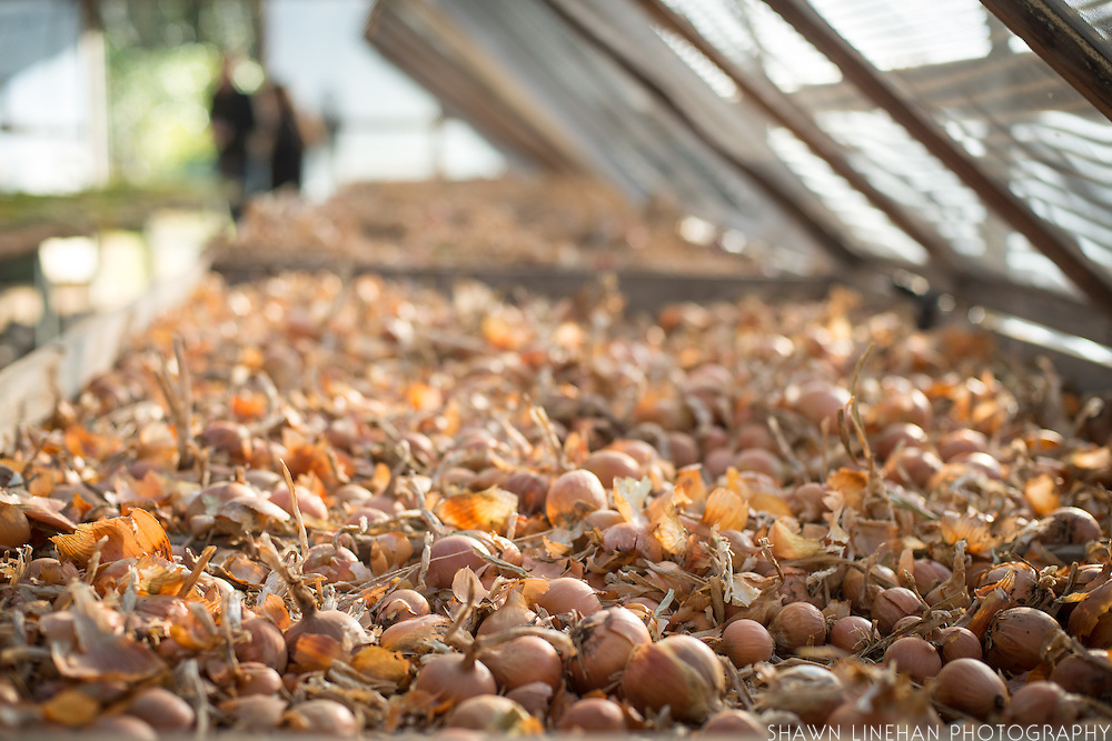 Wide shot of onions inside of a green house.