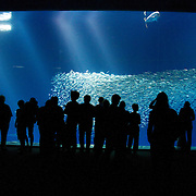 The Monterey Bay Aquarium draws tourists to it's renowned exhibits featuring marine wildlife found along the Central Coast of California.