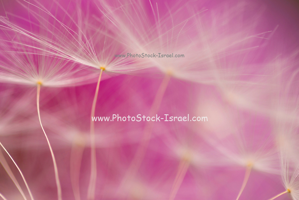Extreme close up of a Dandelion blowball with a pinkish background