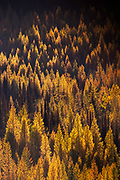 Golden Larch in Montana's Seeley Swan Valley.
