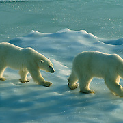 Polar Bear (Ursus maritimus) mother and cub along the shores of Hudson Bay, waiting for it to freeze. Manitoba, Canada