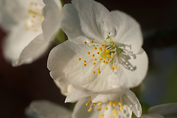 flora, flower Cherry images, trees,fruit and blossom